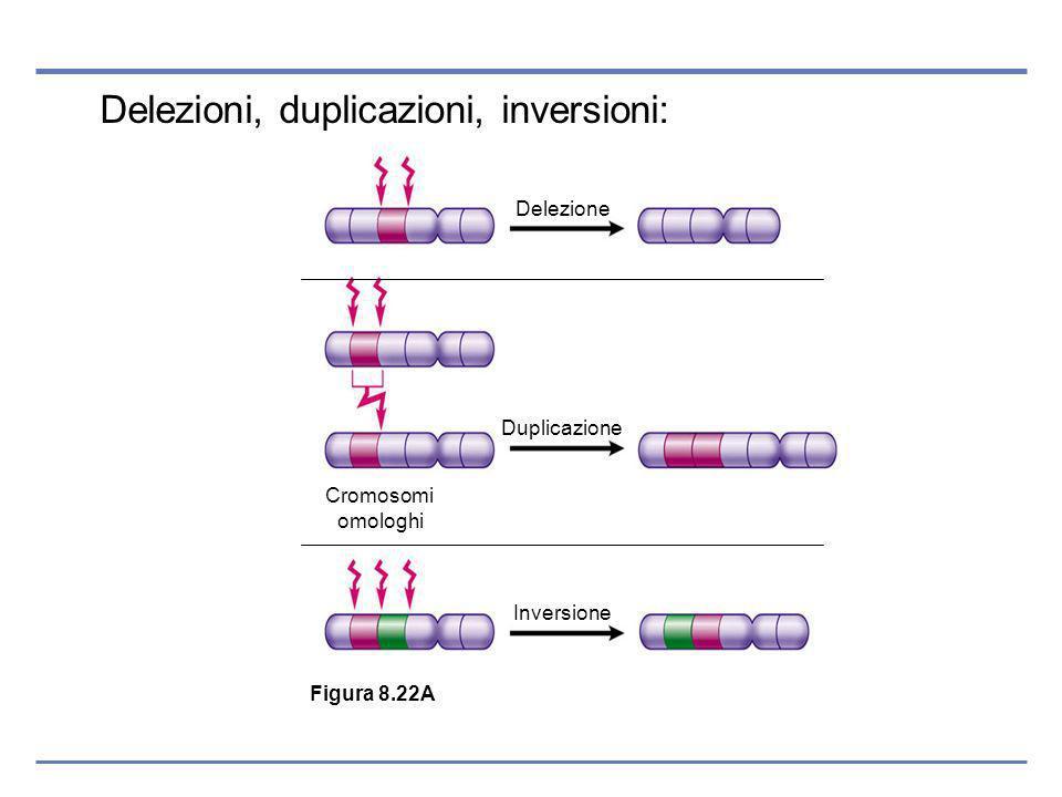 Delezioni, duplicazioni, inversioni: Figura 8.22A Delezione Duplicazione Inversione Cromosomi omologhi