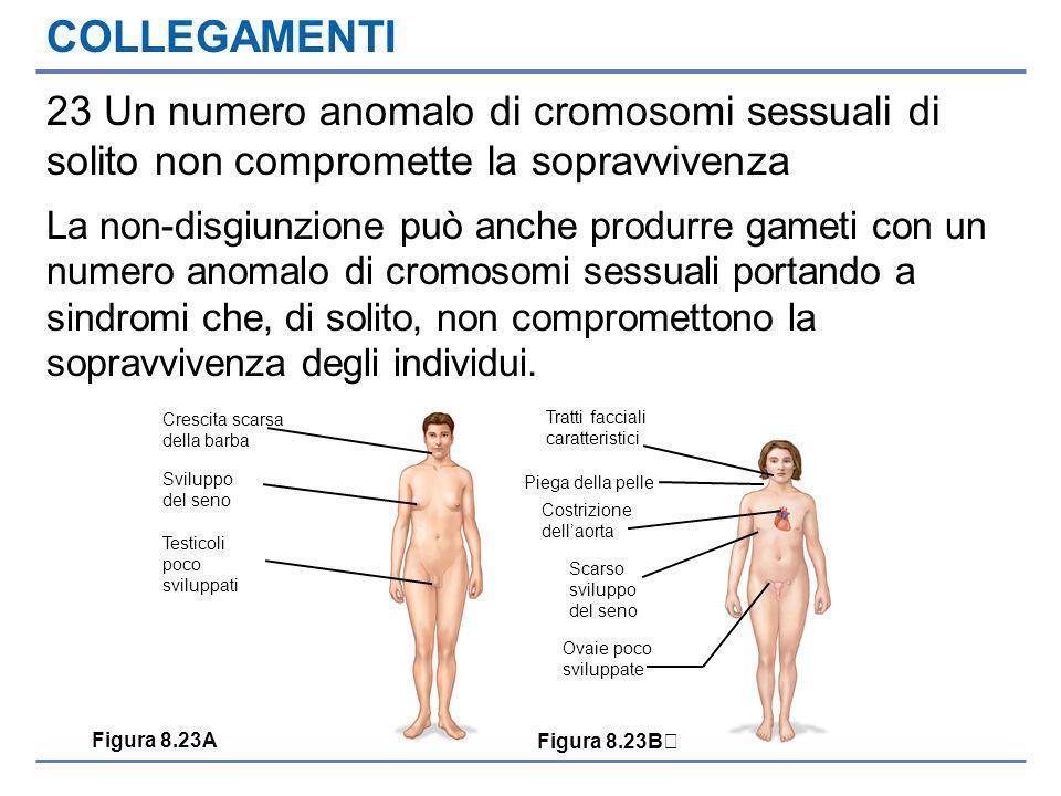 COLLEGAMENTI 23 Un numero anomalo di cromosomi sessuali di solito non compromette la sopravvivenza La non-disgiunzione può anche produrre gameti con un numero anomalo di cromosomi sessuali portando a sindromi che, di solito, non compromettono la sopravvivenza degli individui.