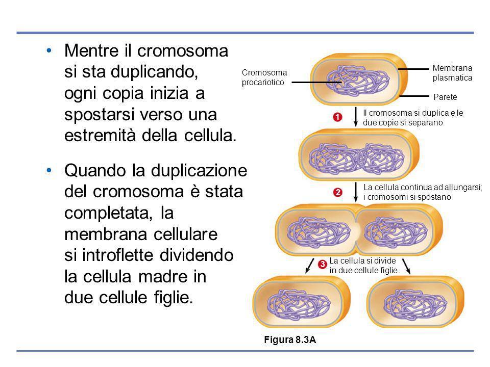 Cromosoma procariotico Membrana plasmatica Parete Il cromosoma si duplica e le due copie si separano 1 La cellula continua ad allungarsi; i cromosomi si spostano 2 La cellula si divide in due cellule figlie 3 Mentre il cromosoma si sta duplicando, ogni copia inizia a spostarsi verso una estremità della cellula.
