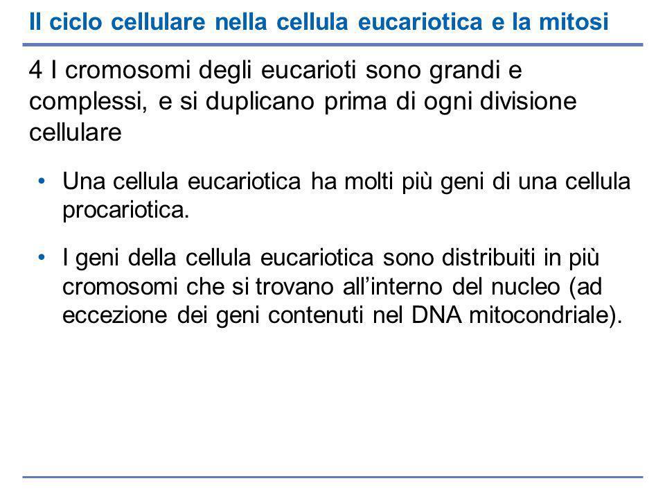Il ciclo cellulare nella cellula eucariotica e la mitosi 4 I cromosomi degli eucarioti sono grandi e complessi, e si duplicano prima di ogni divisione cellulare Una cellula eucariotica ha molti più geni di una cellula procariotica.