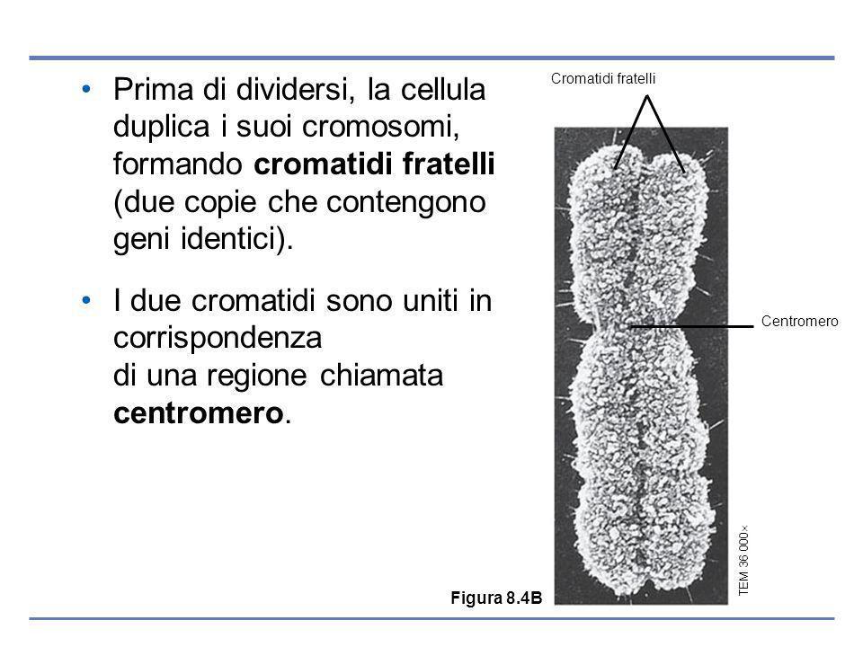 Prima di dividersi, la cellula duplica i suoi cromosomi, formando cromatidi fratelli (due copie che contengono geni identici).
