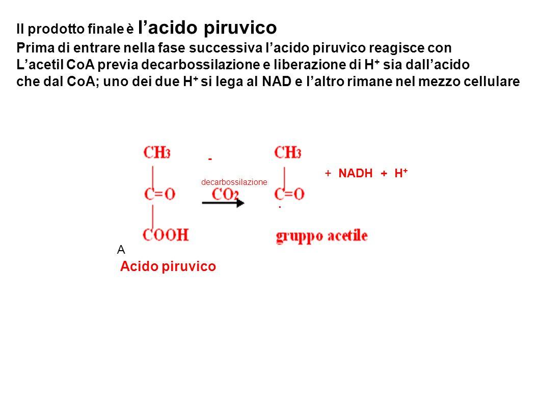 A Acido piruvico + NADH + H + decarbossilazione - Il prodotto finale è lacido piruvico Prima di entrare nella fase successiva lacido piruvico reagisce