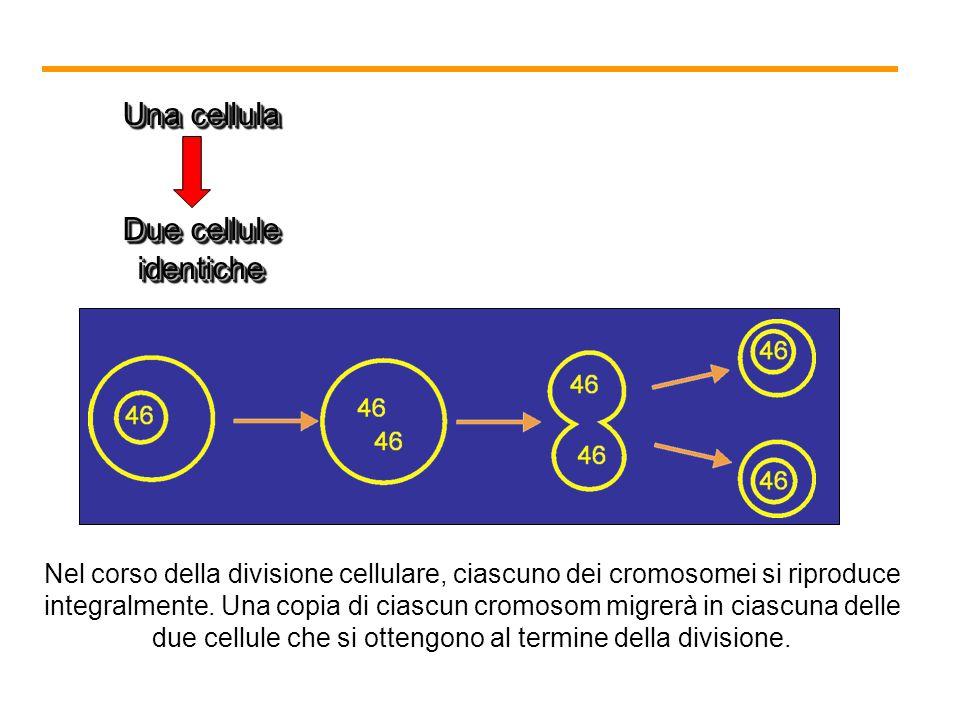 LA MITOSI In biologia, la moltiplicazione equivale alla divisione !