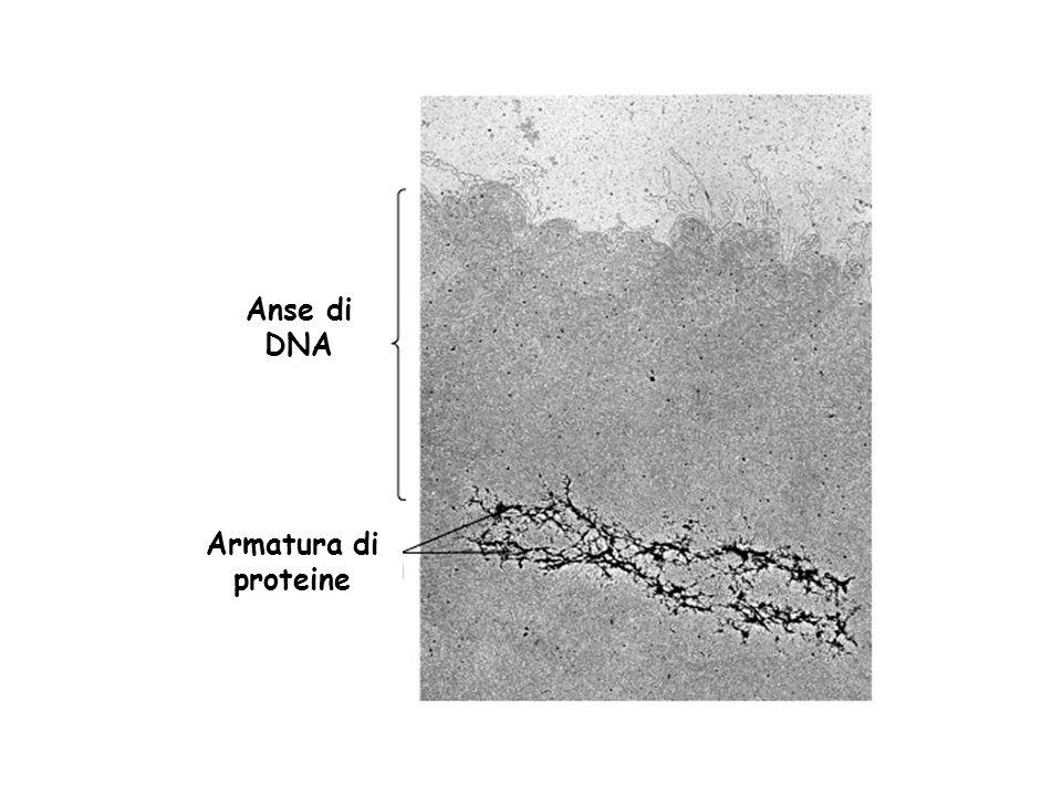 Les anse contengono 20-80000 bp solenoide armatura