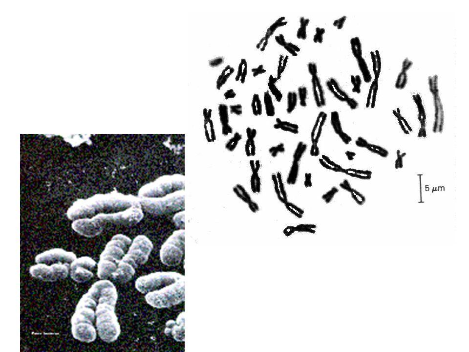 Compattamento DNA doppia elica 2 nm 0 Collana di nucleosomi11 nm~3 Solenoide30 nm~6 Anse su armatura 300 nm~24 Cromatidio (Rosette) 700 nm~20 ~8600