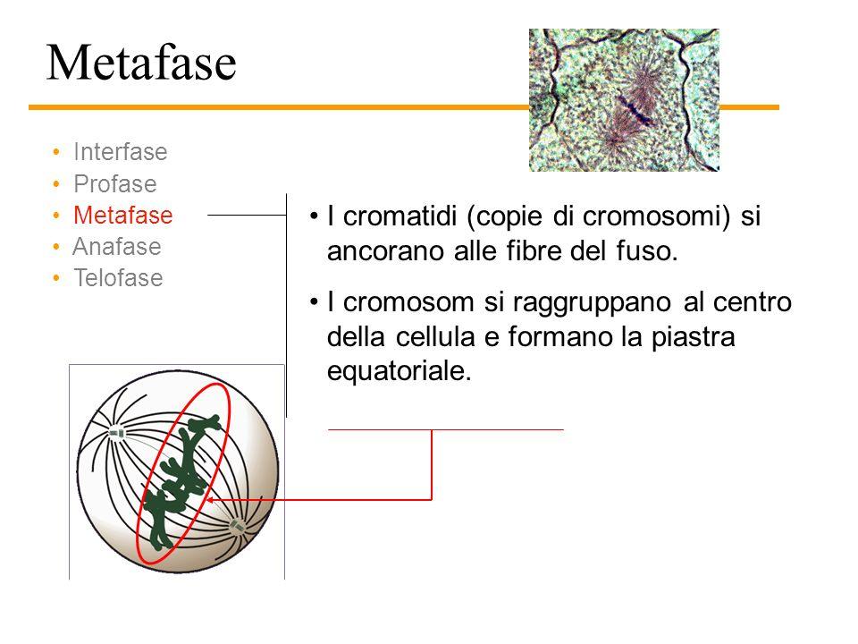 Interfase e profase in una cellula di cipolla Interfase Profase (inizio) Profase (termine)