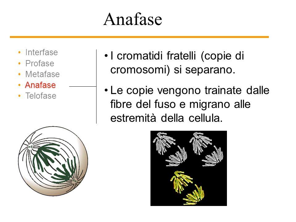 Interfase Profase Metafase Anafase Telofase I cromatidi (copie di cromosomi) si ancorano alle fibre del fuso. I cromosom si raggruppano al centro dell