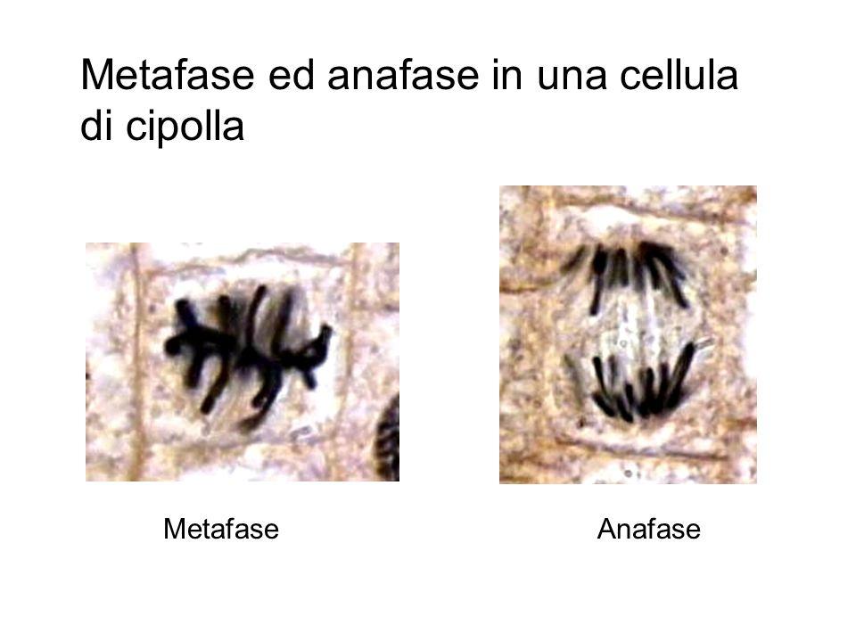 Interfase Profase Metafase Anafase Telofase I cromatidi fratelli (copie di cromosomi) si separano. Le copie vengono trainate dalle fibre del fuso e mi