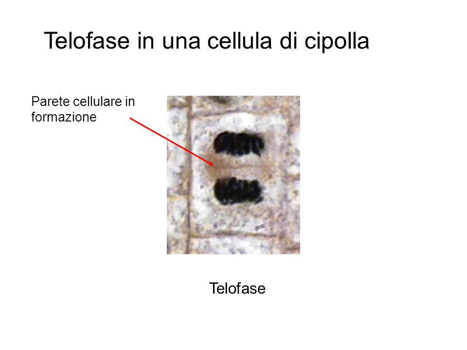 Interphase Prophase Métaphase Anaphase Télophase I cromosomi si « despiralizzano » e tornano a formare la cromatina. La membrana del nucleo ed il nucl