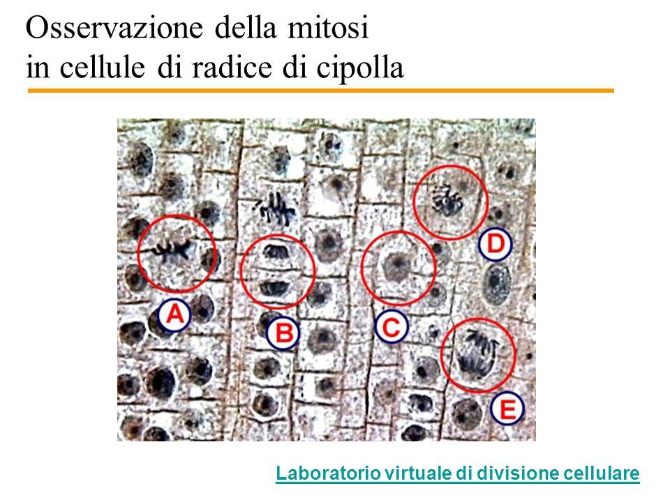 Osservazione della mitosi in cellule di radice di cipolla Zona dallungamento Zona di crescita Cuffia