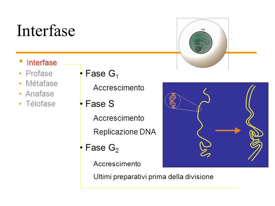LE FASI DELLA MITOSI Interfase Profase Metafase Anafase Telofase