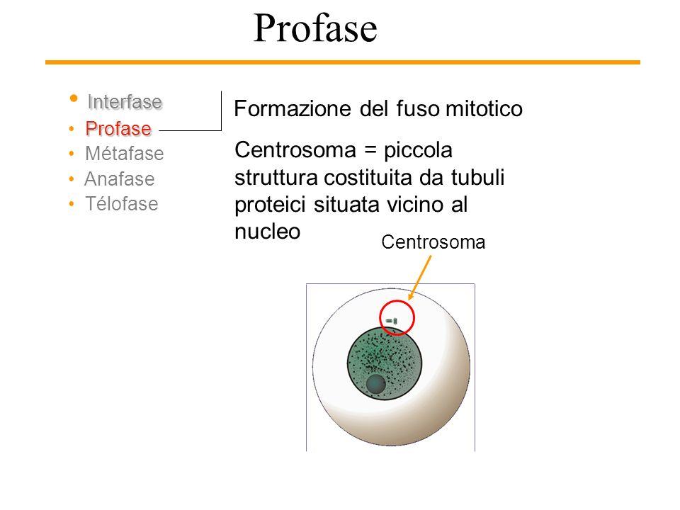 Profase Formazione del fuso mitotico Formato da fibre proteiche che si dipartono dai poli della cellula. Nelle cellule animali, il fuso si organizza a