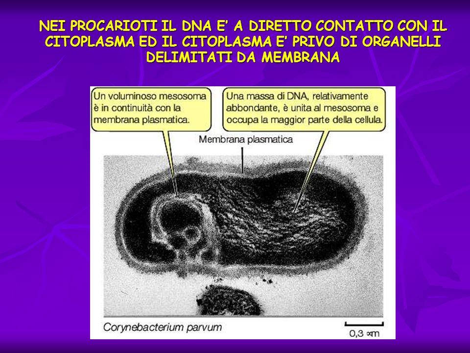 NEI PROCARIOTI IL DNA E A DIRETTO CONTATTO CON IL CITOPLASMA ED IL CITOPLASMA E PRIVO DI ORGANELLI DELIMITATI DA MEMBRANA