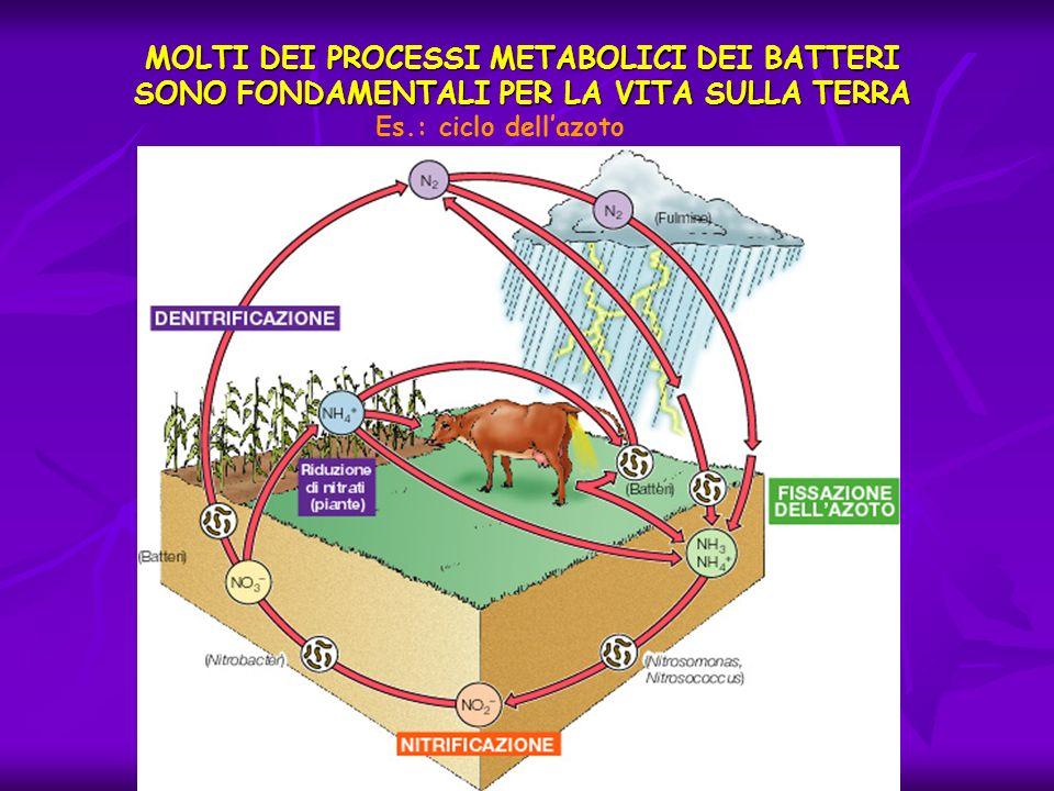 MOLTI DEI PROCESSI METABOLICI DEI BATTERI SONO FONDAMENTALI PER LA VITA SULLA TERRA Es.: ciclo dellazoto