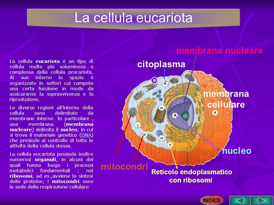 membrana cellulare nucleo citoplasma membrana nucleare mitocondri La cellula eucariota è un tipo di cellula molto più voluminosa e complessa della cel