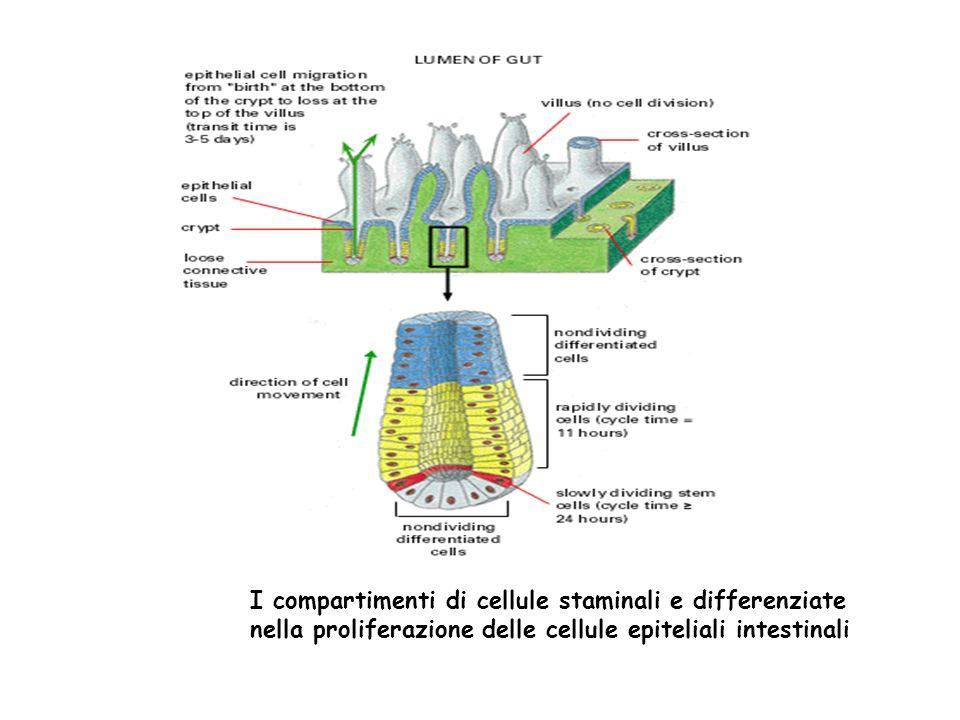 Tre categorie di cellule: Cellule molto specializzate: cellule nervose, muscolari, i globuli rossi hanno perso la capacità di dividersi.