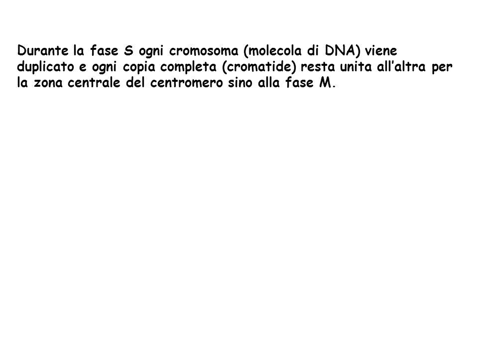 Durante la fase S ogni cromosoma (molecola di DNA) viene duplicato e ogni copia completa (cromatide) resta unita allaltra per la zona centrale del cen