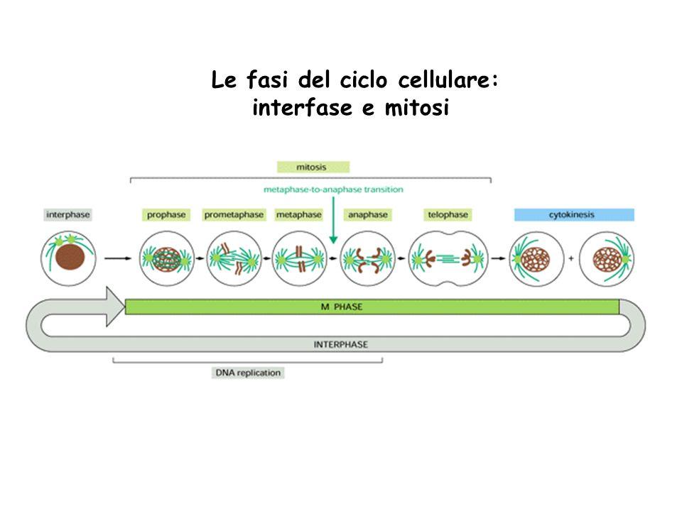Le fasi del ciclo cellulare: interfase e mitosi