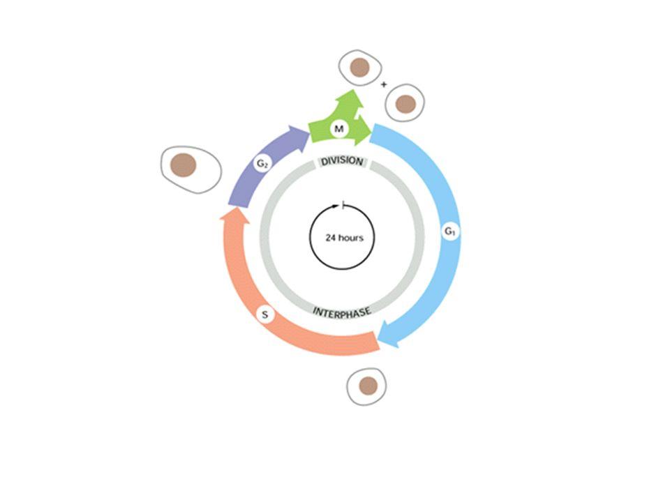 Le cicline e le chinasi ciclina dipendenti (CdK) Le cicline sono prodotte nella risposta secondaria e la loro presenza attiva le chinasi-ciclina dipendenti