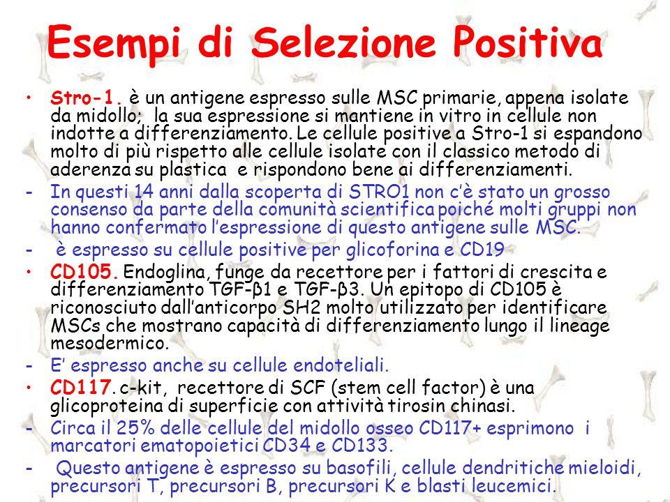 Esempi di Selezione Positiva Stro-1. è un antigene espresso sulle MSC primarie, appena isolate da midollo; la sua espressione si mantiene in vitro in