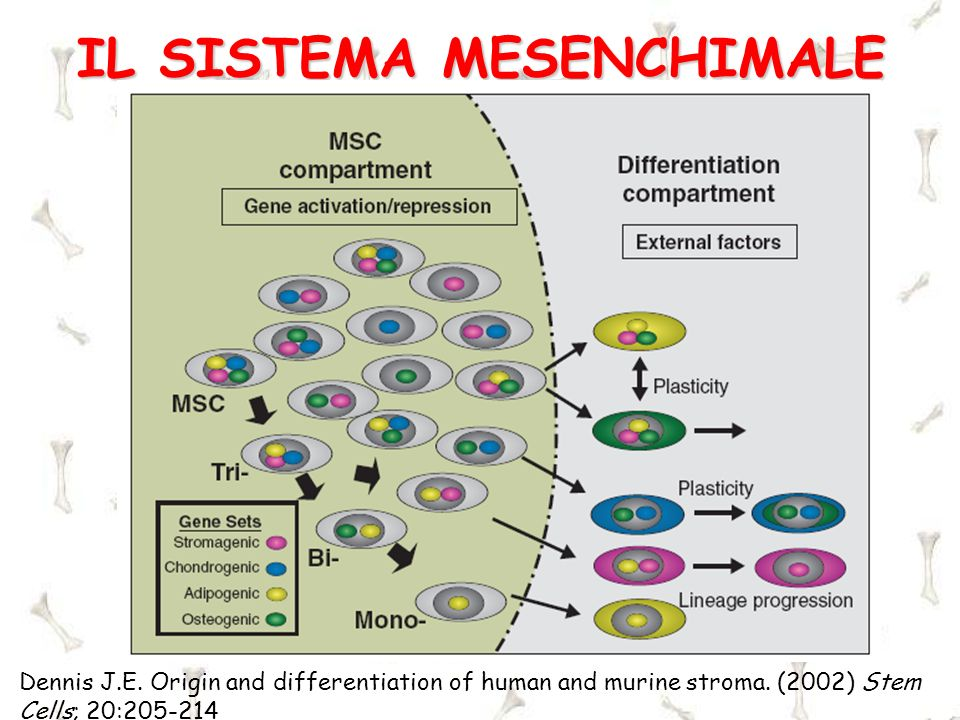 Dennis J.E. Origin and differentiation of human and murine stroma. (2002) Stem Cells; 20:205-214