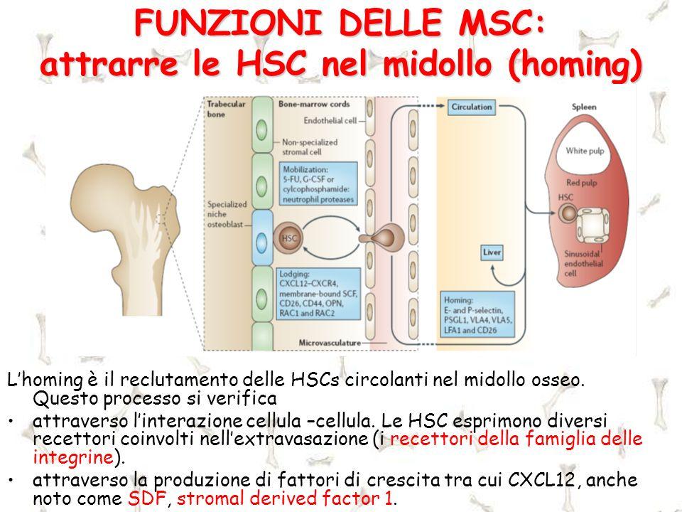 FUNZIONI DELLE MSC: attrarre le HSC nel midollo (homing) Lhoming è il reclutamento delle HSCs circolanti nel midollo osseo. Questo processo si verific