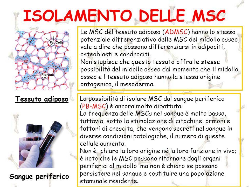 ISOLAMENTO DELLE MSC Tessuto adiposo Le MSC del tessuto adiposo (ADMSC) hanno lo stesso potenziale differenziativo delle MSC del midollo osseo, vale a
