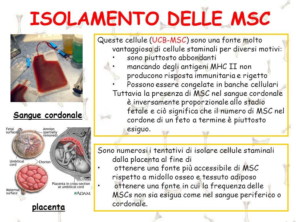ISOLAMENTO DELLE MSC placenta Sangue cordonale Queste cellule (UCB-MSC) sono una fonte molto vantaggiosa di cellule staminali per diversi motivi: sono
