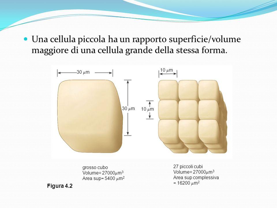 Una cellula piccola ha un rapporto superficie/volume maggiore di una cellula grande della stessa forma. 30 m 10 m 30 m 10 m grosso cubo Volume= 27000