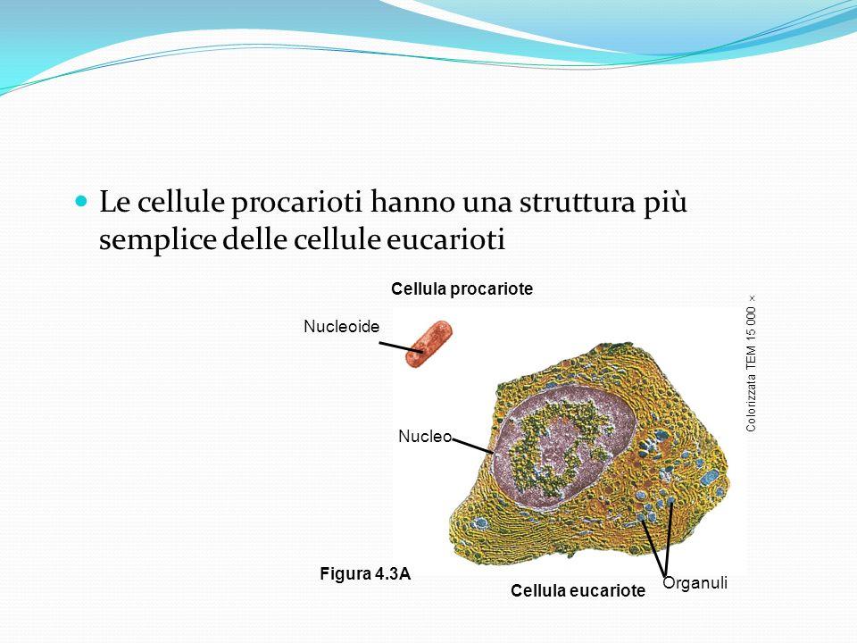 Le cellule procarioti hanno una struttura più semplice delle cellule eucarioti Cellula procariote Nucleoide Nucleo Cellula eucariote Organuli Colorizz