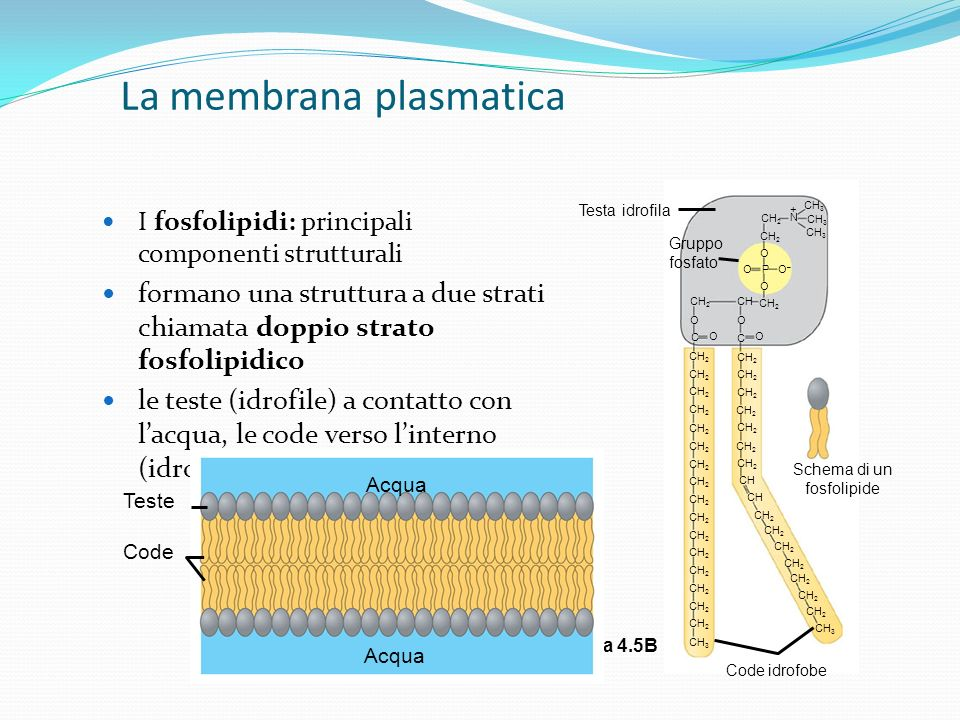 CH 2 CH 3 CH 2 CH CH 2 CH 3 CH 2 CH 3 N + O O O–O– P O CH 2 CH CH 2 C O C O O O Schema di un fosfolipide Code idrofobe Testa idrofila La membrana plas