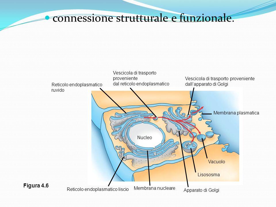 connessione strutturale e funzionale. Nucleo Reticolo endoplasmatico liscio Membrana nucleare Apparato di Golgi Lisososma Vacuolo Membrana plasmatica