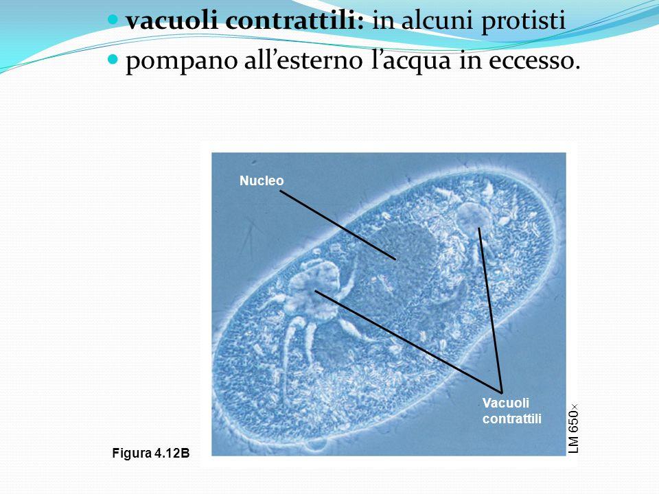 vacuoli contrattili: in alcuni protisti pompano allesterno lacqua in eccesso. LM 650 Nucleo Vacuoli contrattili Figura 4.12B