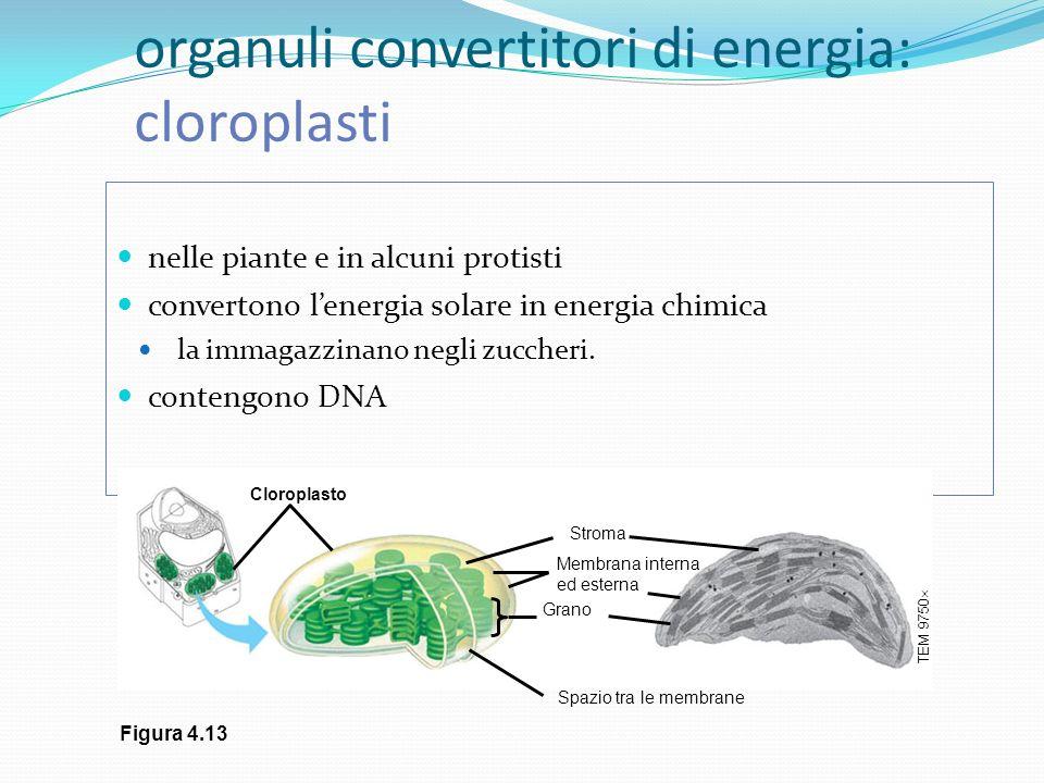 organuli convertitori di energia: cloroplasti nelle piante e in alcuni protisti convertono lenergia solare in energia chimica la immagazzinano negli z