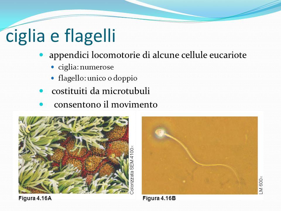 ciglia e flagelli appendici locomotorie di alcune cellule eucariote ciglia: numerose flagello: unico o doppio costituiti da microtubuli consentono il