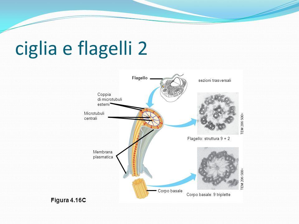 ciglia e flagelli 2 Figura 4.16C Flagello sezioni trasversali Flagello: struttura 9 + 2 Corpo basale: 9 triplette Corpo basale TEM 206 500 Membrana pl