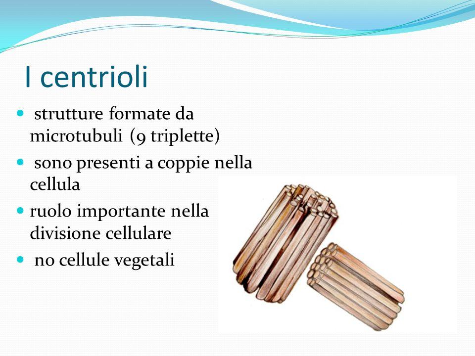 I centrioli strutture formate da microtubuli (9 triplette) sono presenti a coppie nella cellula ruolo importante nella divisione cellulare no cellule