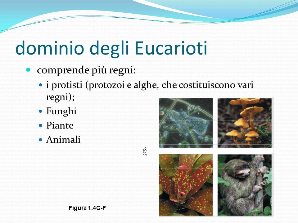 dominio degli Eucarioti comprende più regni: i protisti (protozoi e alghe, che costituiscono vari regni); Funghi Piante Animali 275 Figura 1.4C-F