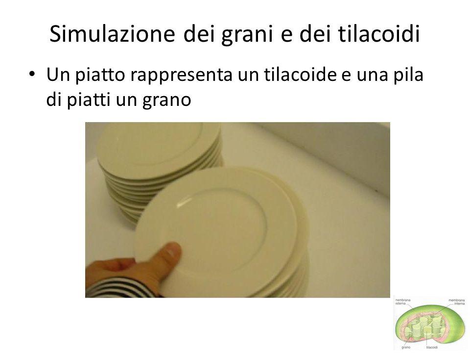 Simulazione dei grani e dei tilacoidi Un piatto rappresenta un tilacoide e una pila di piatti un grano