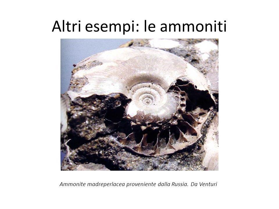 Altri esempi: le ammoniti Ammonite madreperlacea proveniente dalla Russia. Da Venturi