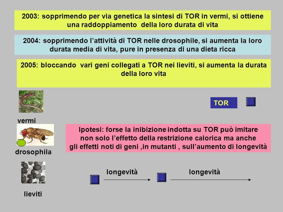 2003: sopprimendo per via genetica la sintesi di TOR in vermi, si ottiene una raddoppiamento della loro durata di vita 2004: sopprimendo lattività di