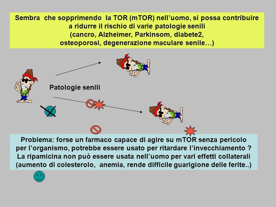 Sembra che sopprimendo la TOR (mTOR) nelluomo, si possa contribuire a ridurre il rischio di varie patologie senili (cancro, Alzheimer, Parkinsom, diab