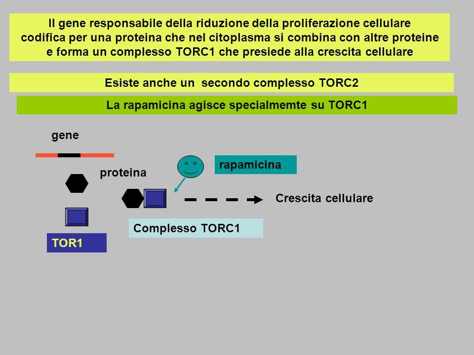 Il gene responsabile della riduzione della proliferazione cellulare codifica per una proteina che nel citoplasma si combina con altre proteine e forma