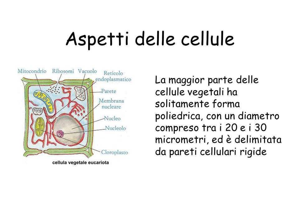 Nelle cellule vegetali la membrana è circondata dalla parete cellulare.