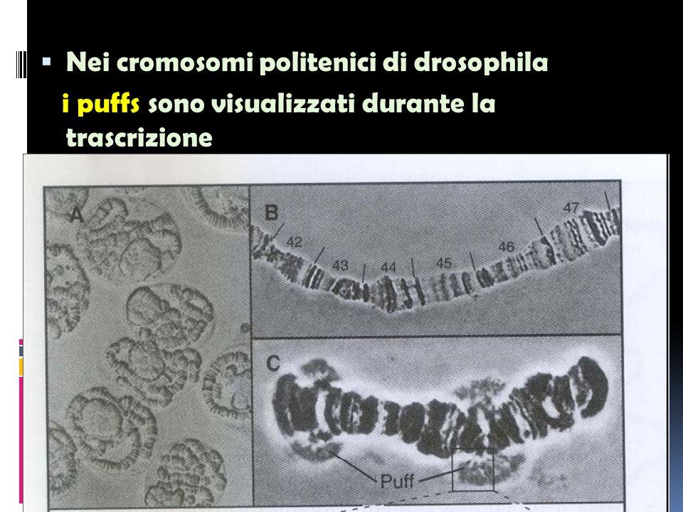 Nei cromosomi politenici di drosophila i puffs sono visualizzati durante la trascrizione 23/04/2014 14