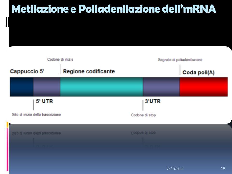 Metilazione e Poliadenilazione dellmRNA 23/04/2014 19