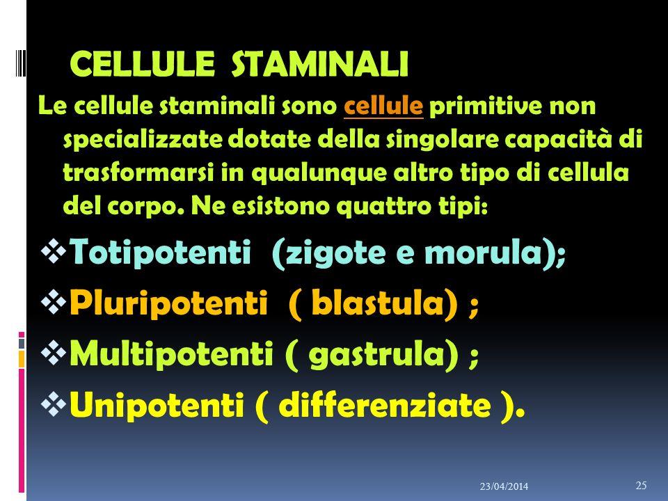 CELLULE STAMINALI Le cellule staminali sono cellule primitive non specializzate dotate della singolare capacità di trasformarsi in qualunque altro tip