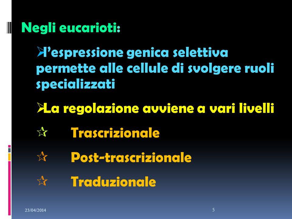 23/04/2014 5 Negli eucarioti: lespressione genica selettiva permette alle cellule di svolgere ruoli specializzati La regolazione avviene a vari livell