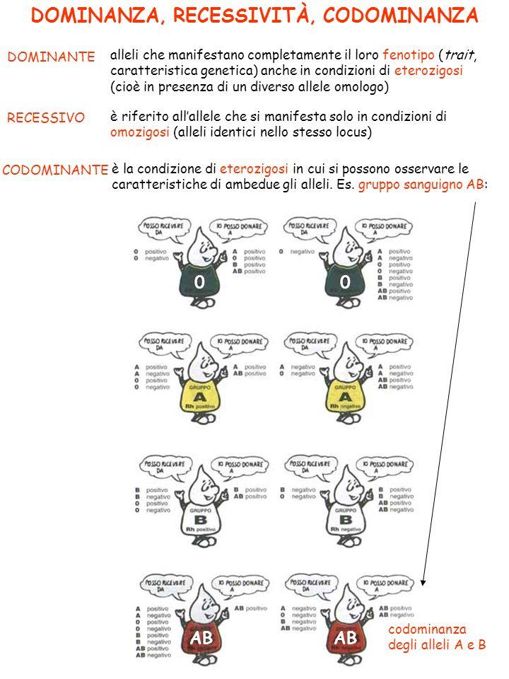 DOMINANZA, RECESSIVITÀ, CODOMINANZA DOMINANTE alleli che manifestano completamente il loro fenotipo (trait, caratteristica genetica) anche in condizioni di eterozigosi (cioè in presenza di un diverso allele omologo) RECESSIVO è riferito allallele che si manifesta solo in condizioni di omozigosi (alleli identici nello stesso locus) CODOMINANTE è la condizione di eterozigosi in cui si possono osservare le caratteristiche di ambedue gli alleli.
