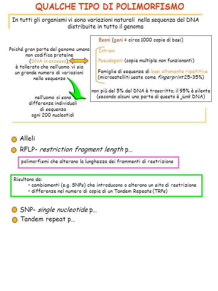 QUALCHE TIPO DI POLIMORFISMO Alleli RFLP- restriction fragment length p… In tutti gli organismi vi sono variazioni naturali nella sequenza del DNA distribuite in tutto il genoma Poiché gran parte del genoma umano non codifica proteine (DNA in eccesso), è tollerato che nelluomo vi sia un grande numero di variazioni nella sequenza Esoni (geni = circa 1000 copie di basi) Introni Pseudogeni (copie multiple non funzionanti) Famiglie di sequenze di basi altamente ripetitive (microsatelliti usate come fingerprint 25-35%) non più del 5% del DNA è trascritto; il 95% è silente (secondo alcuni una parte di questo è junk DNA) nelluomo ci sono differenze individuali di sequenza ogni 200 nucleotidi SNP- single nucleotide p… Tandem repeat p… polimorfismi che alterano la lunghezza dei frammenti di restrizione Risultano da: cambiamenti (e.g.